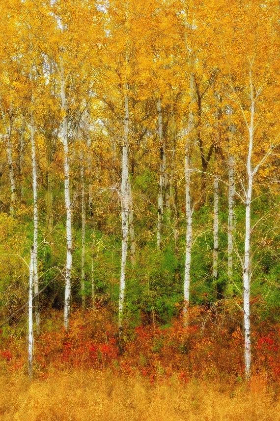 birch tree bark wallpaper