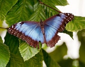 Big Blue Butterfly on Leaves - 5x7 Original Signed Fine Art Photograph