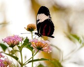 White, Red and Black Butterfly - 5x7 Original Signed Fine Art Photograph