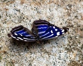 Dark Blue and White Butterfly - 5x7 Original Signed Fine Art Photograph