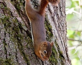 Red Squirrel on a Tree - 5x7 Original Signed Fine Art Photograph