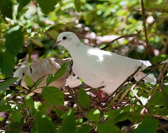 2 Doves in a Tree 2 - 5x7 Original Signed Fine Art Photograph