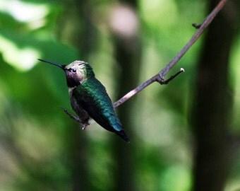 Hummingbird on Branch - 5x7 Original Signed Fine Art Photograph
