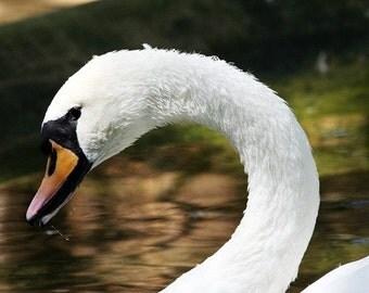 Sunlit Swan Close-Up 1 - 5x7 Original Signed Fine Art Photograph