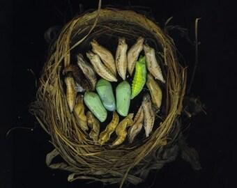 Nest of chrysalis