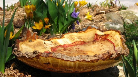 Big natural bark edge box elder burl bowl with a ring of red