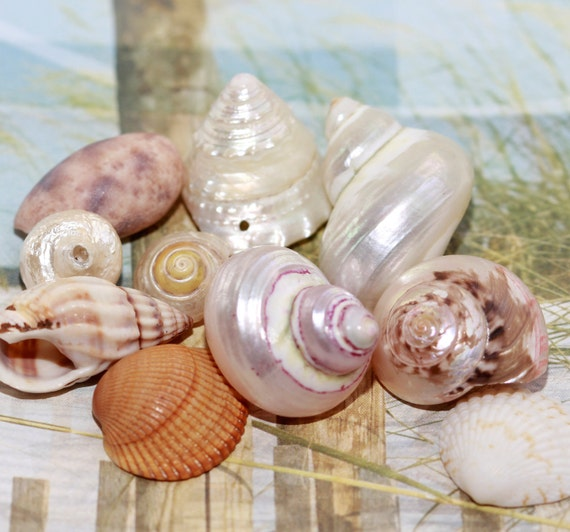 Vintage - Real - Natural Sea Shells - Oceanic Treasures for Crafters - Large Shell Assorted Style Shells (12)