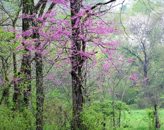 Spring Photograph  8x10 Flowering Redbud Trees Fine Art Landscape Nature Print Ohio Wall Art