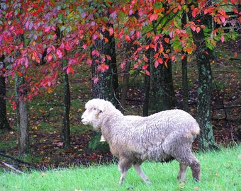 Lamb Photograph Animal Photography 5x7 Fall Color Nature Photo Autumn Wool
