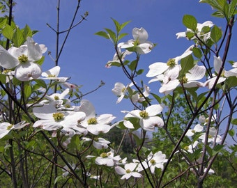 Flowering Dogwood in a Blue Clear Sky 5x7 Nature Photograph