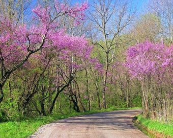 Step into Spring 4x6 Photo Print of Flowering Redbud Trees in Ohio