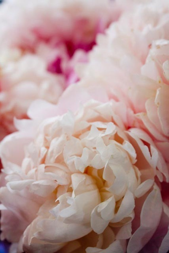 Nature Photography, Fragrant Peony in Paris, paris baby pink peony, flower photography, paris home decor - peony wall art