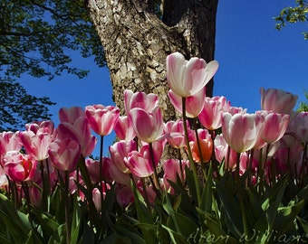 Pink and White Tulips - 8 x 12 Photographic Print