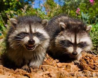 Laughing Raccoons - 8 x 12 Photographic Print