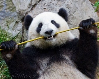 Panda - 8 x 12 Photographic Print