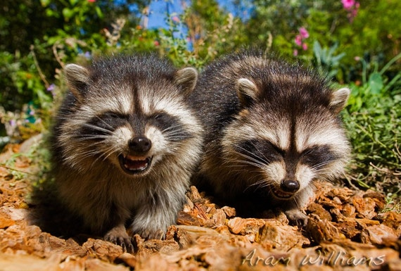 Laughing Raccoons - 5 x 7 Photographic Print