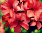 Flower photography - Tickled Pink Geraniums - 8 x 10 fine art color photograph