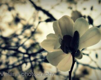 Magnolia flower fine art photograph - Hello You - 11 x 14 wall art creamy white beige gray