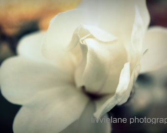 Magnolia photography - Let It Be - 8x10 fine art flower photograph - ivory creamy white peach gray tones floral home decor