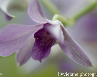 Fine Art Flower Photography Print - Becoming - 8 x 10 photograph -  lavender light green delicate floral