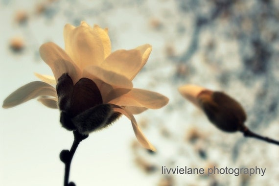 Flower photography - Magnolia photo - First Blush - 11 x 14 fine art color photograph - peach and light blue hues