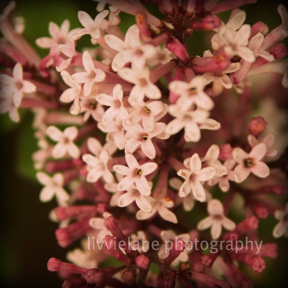 Flower photography - Sweet Lilac breeze - 8 x 8 fine art color photograph - rosy dusty pink floral home decor