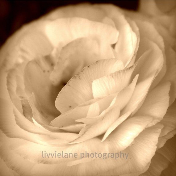 Flower photography - I Heart You - 8 x 8 ranunculus photograph - sepia tones or black and white
