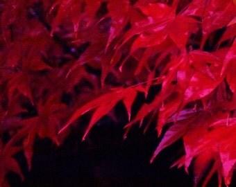 Photo Print Red Japanese Maple