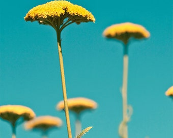 Blue yellow photo - Yarrow - 8x8 Fine Art Print - golden autumn flowers against an aqua sky - home decor
