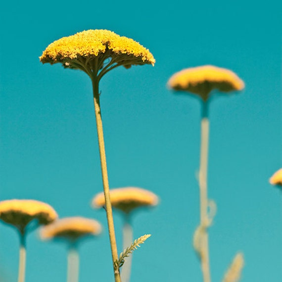 Blue yellow photo - Yarrow - 8x8 Fine Art Print - golden autumn flowers against an aqua sky - home decor