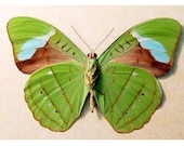 REAL BUTTERFLY HARD TO GET LEAF GREEN LEAF NESSAEA 648