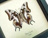 Real Framed Polyura Cognatus Verso Exotic Dagger Tails Charaxes 135v