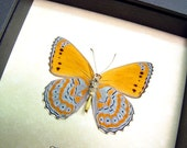 Framed Butterfly Lavendar Orange African Display 131