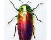 Dad's & Grad's Gift Real Rainbow Beetle Conservation Framed display Belionota 2214