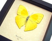 Yellow Butterfly 155