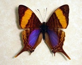 Real Framed Butterfly Display - Marpesia Daggerwing Butterfly 137