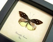Pointed Wing Fairy Real Butterfly Conservation Display 898