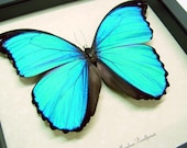Valentine's Day Gift Sealed Conservation Quality Blue Morpho Butterfly Display 7848