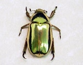 Gold Beetle 2433