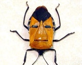 Real Framed Man Face Beetle Great Gift For Dad 2220