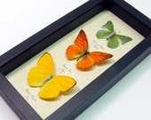 Lemon Lime and Orange Citrus Real Framed Butterfly Collection Free Shipping 7897
