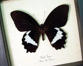 Real Framed Male Butterfly Black Papilio Aegeus 190