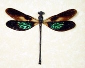 Real Framed Metallic Green Patch Damselfly Dragonfly 7709