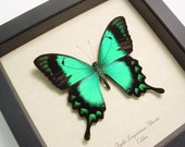 Wedding Gift  Real Framed Green Butterfly Display  277