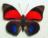 Agrias Claudina Lugens Real Red Blue Framed Butterfly 438
