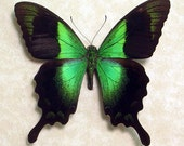 Papilio Peranthus Real Framed Green Butterfly 704