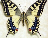 Real Framed Japanese Butterfly Papilio Machaon Butterfly 498