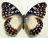 Butterflies Insect Cymothoe Beckeri Real Framed Mounted Female African Butterfly 925