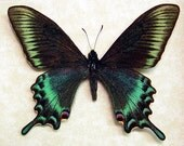 Papilio Maackii Spring Form Real Framed Butterfly 119s