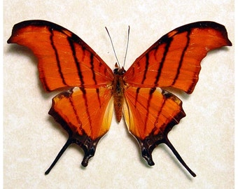 Real Ruddy Dagger Butterfly Conservation Quality Display 710